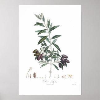 Aceituna, europaea del Olea Póster