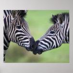 Aclara los pares de la cebra (quagga del Equus) qu Posters