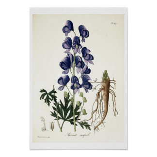 """Aconitum Napellus de """"Phytographie Medicale"""" cerca Póster"""