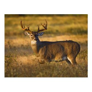 adulto Blanco-atado de los ciervos (virginianus de Tarjeta Postal
