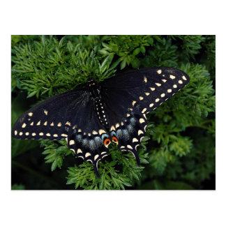 Adulto negro del swallowtail tarjeta postal