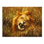 África, Kenia, Maasai Mara. León masculino. Salvaj Tarjetas Postales