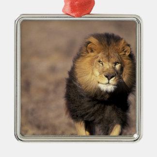 África. Panthera africano masculino leo del león) Ornato