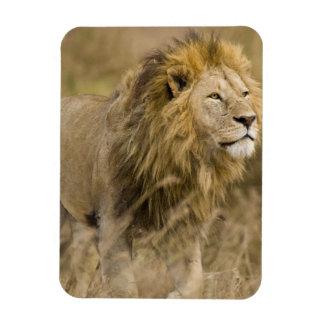 África. Tanzania. León masculino en Ngorongoro Imán