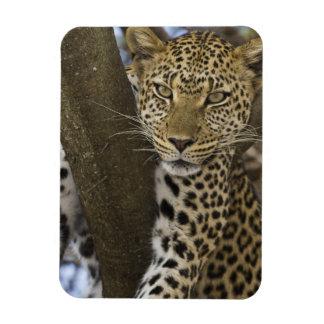 África. Tanzania. Leopardo en árbol en Serengeti Imán