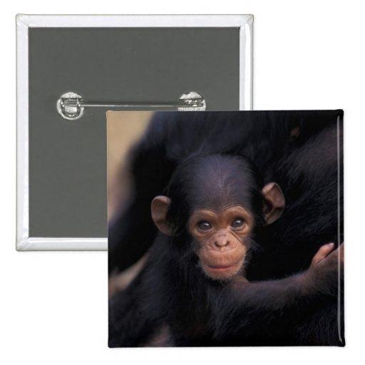 África, Tanzania, parque nacional de Gombe, ligón, Pins