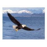águila calva, leucocephalus del Haliaeetus, en vue Postal