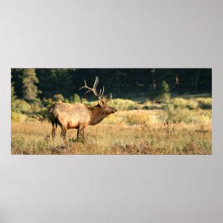 Alces de Bull en el parque nacional rocoso de Moun Póster