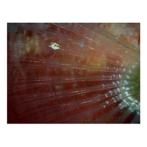 Aleta pectoral del pez papagayo del redband postal