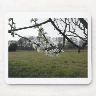 Alfombrilla De Ratón Ciruelo floreciente. Árbol blanco floreciente en