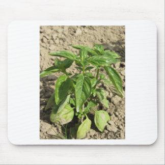 Alfombrilla De Ratón Escoja la planta fresca de la albahaca que crece