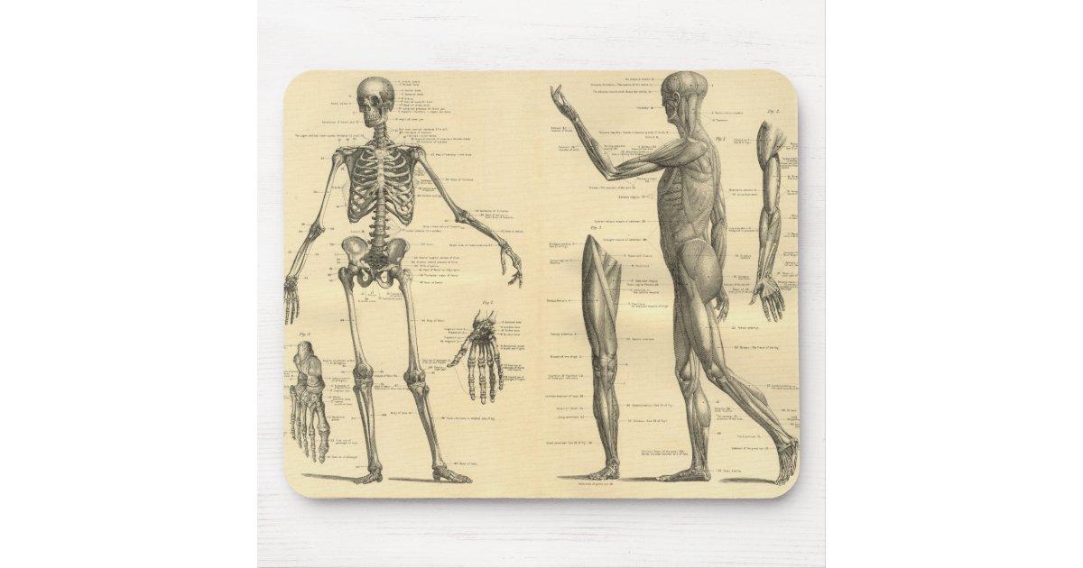 Alfombrilla De Ratón Esqueleto De La Anatomía Y Músculos Humanos Del ...