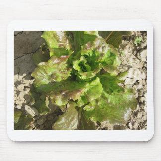 Alfombrilla De Ratón Lechuga fresca que crece en el campo. Toscana,