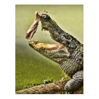 Almuerzo de cogida del cocodrilo postal