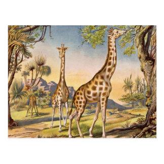 Almuerzo para una jirafa postal