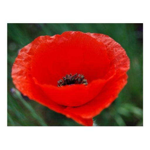 Amapola roja y significado tarjetas postales
