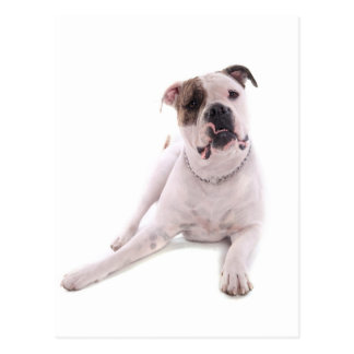 american bulldog tarjeta postal