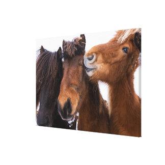 Amigos islandeses del caballo, Islandia Lienzo