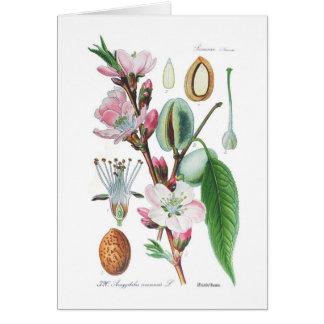 Amygdalus communis (almendra) tarjeta de felicitación