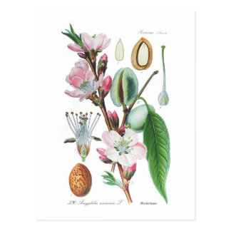Amygdalus communis (almendra) tarjeta postal