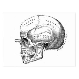 Anatomía del cráneo postal