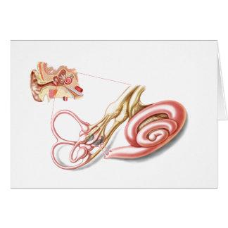 Anatomía del oído humano, laberinto membranoso tarjeta de felicitación