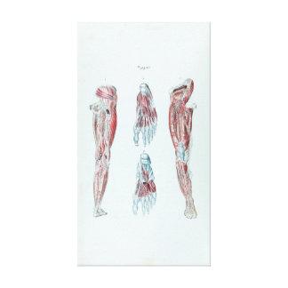 Anatomía del vintage de piernas y de pies humanos lienzo