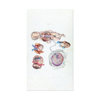 Anatomía del vintage de un niño humano en matriz lienzo
