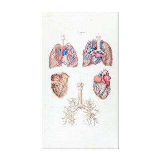 Anatomía del vintage del corazón y de los pulmones lienzo