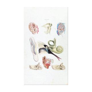 Anatomía del vintage del oído humano lienzo