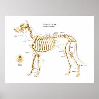 Anatomía esquelética del poster del perro póster