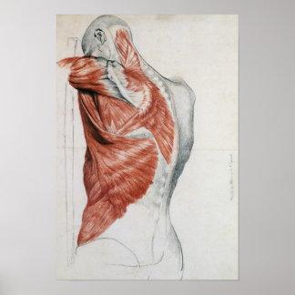 Anatomía humana; Músculos del torso y del hombro Poster