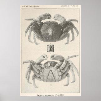 Anatomía Photograph (1918) del cangrejo del Póster