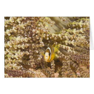 Anemonefish de Clark juvenil (Amphiprion) Tarjeton