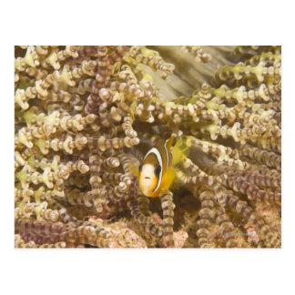 Anemonefish de Clark juvenil (Amphiprion) Postal