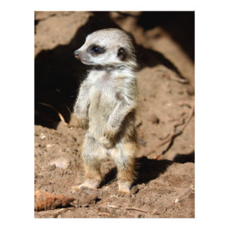Animal dulce lindo maravilloso de Meerkat del Folleto 21,6 X 28 Cm