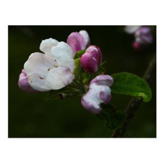 Apple florece postal