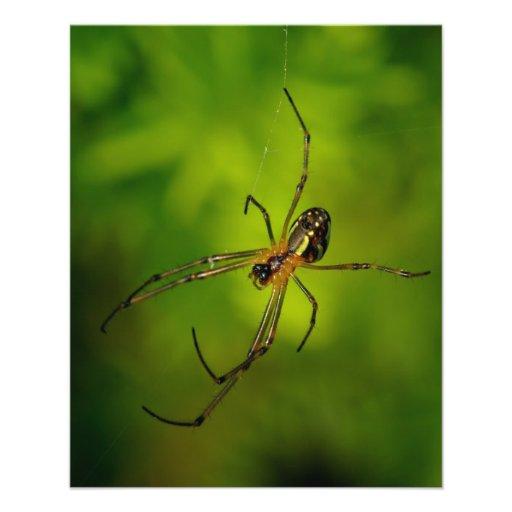araña Largo-jawed del tejedor del orbe Tarjetas Informativas