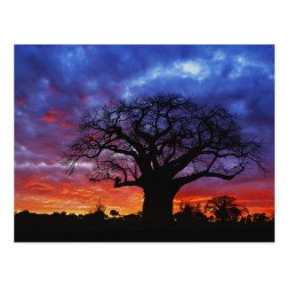 Árbol africano del baobab, digitata del Adansonia, Postal