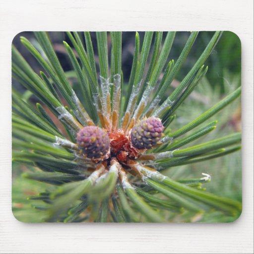 Rbol de hoja perenne de la rama de rbol de pino tapete for Arboles de hoja perenne en madrid
