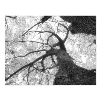 Árbol de la caída en postal blanco y negro