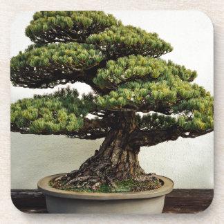 Árbol de los bonsais de White Pine del japonés Apoyavasos