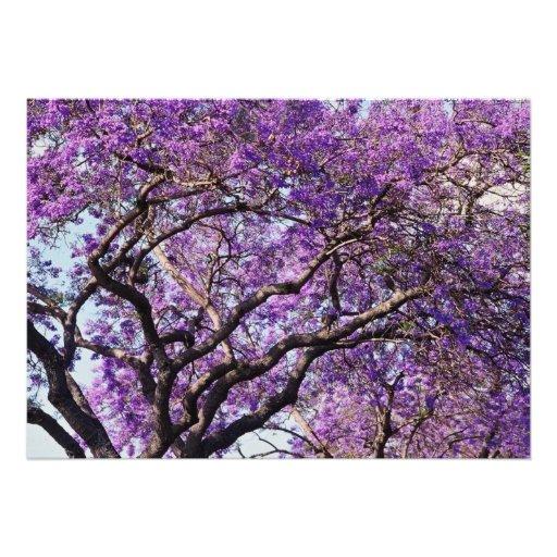 Árbol del Jacaranda en flores de la floración de l Comunicado
