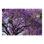 Árbol del Jacaranda en flores de la floración de l Poster