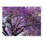 Árbol del Jacaranda en flores de la floración de l Postales