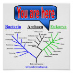 Árbol evolutivo póster