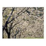 árboles frutales blancos en la floración, flo de H Postales