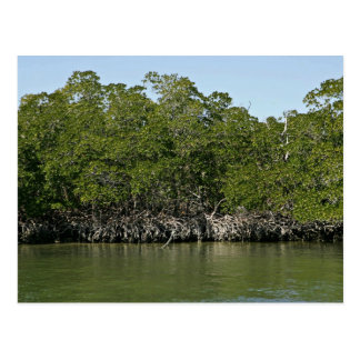 Árboles rojos del mangle en el borde del agua postal