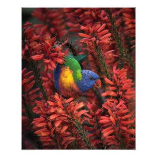 Arco iris Lorikeet en impresión del áloe 16x20 Foto