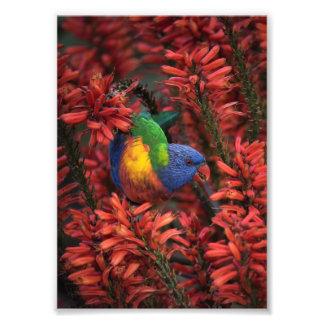 Arco iris Lorikeet en impresión del áloe 5x7 rojo Foto